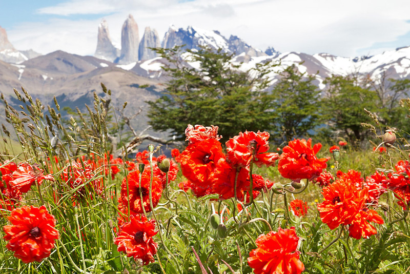 Poppies in bloom near Laguna Azul, Torres del Paine National Park, Chilean Patagonia © Claudio F. Vidal, Far South Expeditions