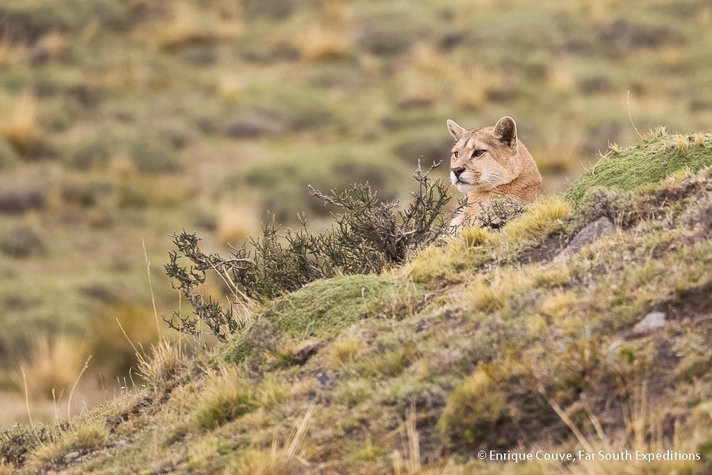 Puma (<em>Puma concolor patagonica</em>), Photo © Enrique Couve, Far South Exp