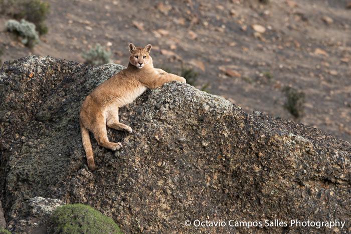 Puma (<em>Puma concolor patagonica</em>), Torres del Paine, Chile © Octavio Campos Salles, Far South Exp