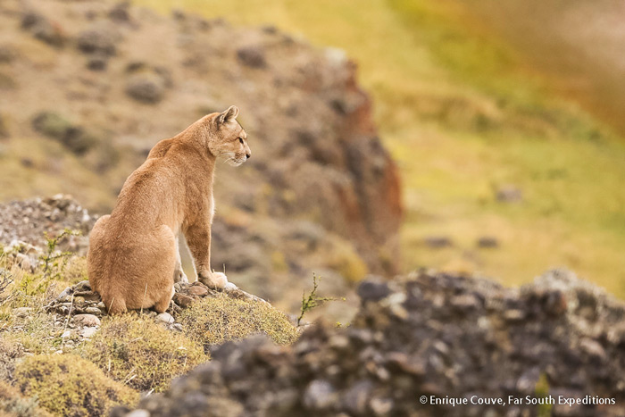 Puma (<em>Puma concolor patagonica</em>), Torres del Paine, Chile © Enrique Couve, Far South Exp