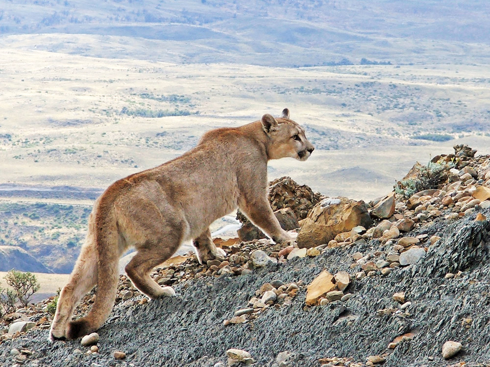 Puma (Puma concolor patagonica), Torres del Paine, Chilean Patagonia. © Far South Expeditions