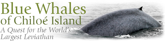 Blue Whales of Chiloe Island