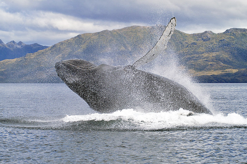 Humpback Whales in the Magellan Straits, Ecounters with Patagonia's Gentle Giants