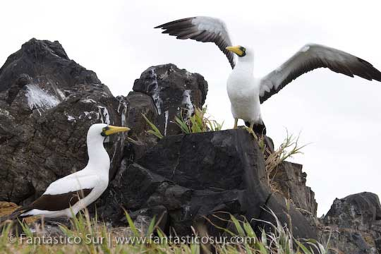 Masked Booby, Easter Island © Fantástico Sur Expeditions