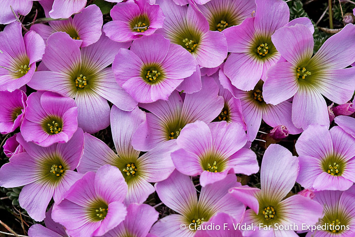 Oxalis enneaphylla, Torres del Paine National Park, Chile © Claudio F. Vidal, Far South Expeditions