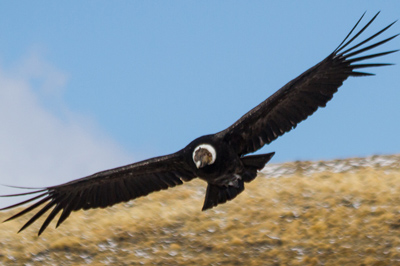 Day Tour: Condors of Patagonia