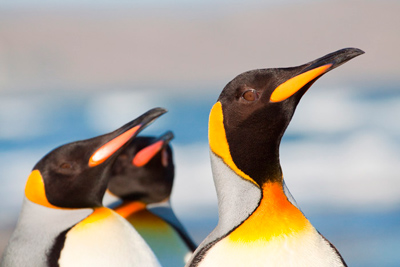 Day Tour: King Penguins of Tierra del Fuego